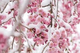 bloss