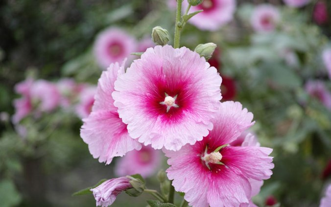pink-hollyhock